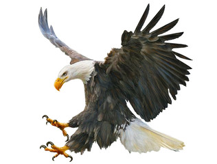 Bald eagle swoop attack hand draw and paint on white background illustration.