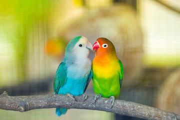 Fotobehang Papegaai Lovebird Kiss