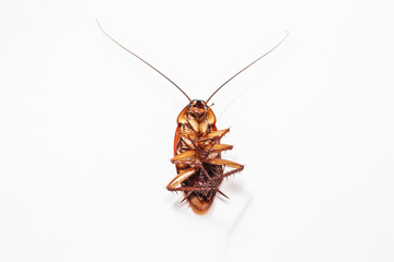 Cockroach brown background and white