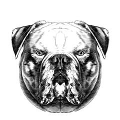 dog breeds American bulldog head symmetry looks right sketch vector graphics black and white drawing