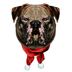 dog breed American bulldog head into the Christmas scarf the symmetry looks right sketch vector graphics color picture