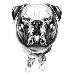 dog breed American bulldog head into the Christmas scarf the symmetry looks right sketch vector graphics black and white drawing