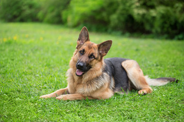 German shepherd portrait outdoor on a green grass