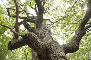 Details from a famous and very old oak tree, from the forest near Letea village, in the Danube Delta area, Romania, in a summer day