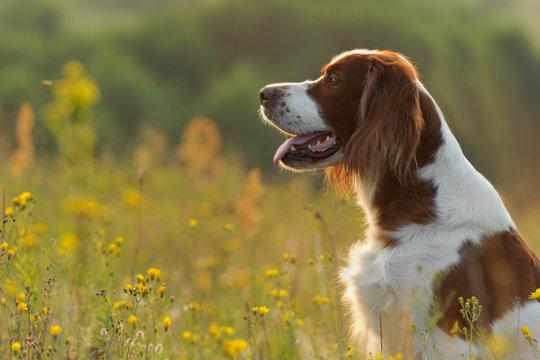 Dog portrait, irish red and white setter on golden sunset background, outdoors, horizontal