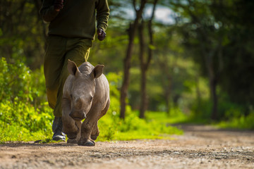 White Rhinoceros Orphan running with carer, Kenya