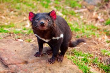 Tasmanian Devil, Australia Fotoväggar