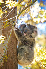 Koala mother and Joey, Australia