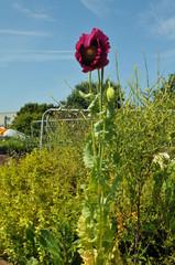 Poppy growing in skip