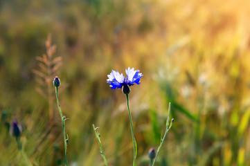 Cornflower flower on wheat field background.