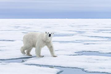 Polar Bear on pack ice, Arctic