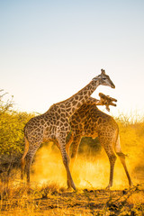 South African Giraffe fighting