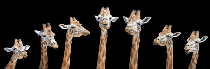 Photo sur Aluminium Girafe Seven giraffes with different facial expressions