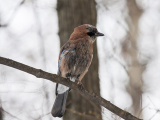 Wet eurasian jay sitting on branch. Beautiful colorful bird watching on something with interest. Bird in wildlife.