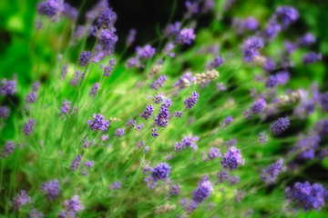 Bright color outdoor closeup floral nature image of blooming wild violet lavender blossoms in a green meadow on a sunny and windy  day