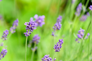 Bright color outdoor closeup floral nature image of blooming wild violet lavender blossoms in a green meadow on a sunny day