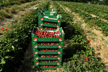 Boxes of strawberries are displayed in a strawberry field in Wepion