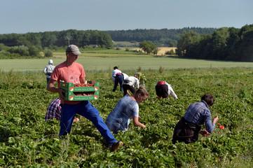 Farmworkers harvest strawberries in a strawberry field in Wepion