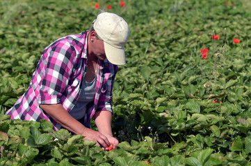 A farmworker harvests strawberries in a strawberry field in Wepion