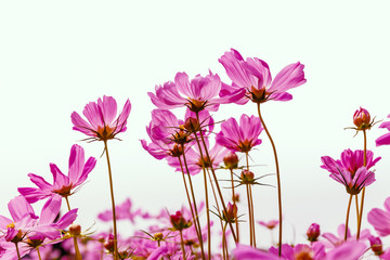 cosmos flower on white background