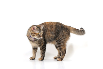 The mixed-breed cat on the white background.