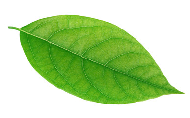 Avocado leaf isolated on a white