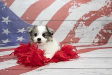 Pomchon on American flag background