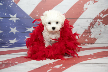 petland kennesaw has Maltese puppies for sale buy a Maltese puppy today at petland kennesaw