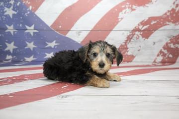 Yorkiepoo on American flag background
