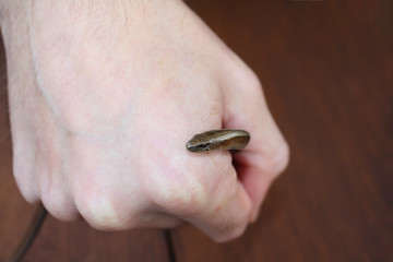 a small snake creeps out of the fist of man