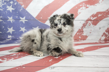 Pomsky on American flag background