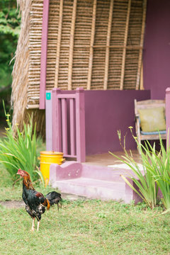 Rooster walks in a village near a bungalow in Asia