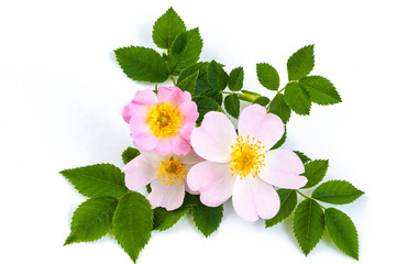 pink wild rose or dogrose flowers with leafs. white background