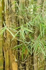 Bambus im Jungle von Thailand