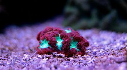 Blastomussa LPS Coral