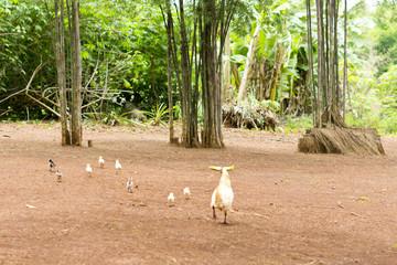 Henne mit Kücken auf Lehmboden freilaufend
