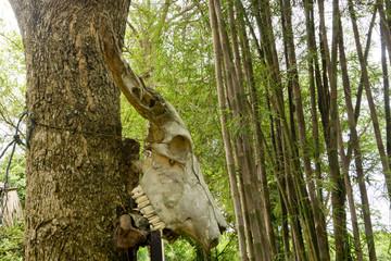 Büffelschädel an Baum