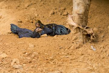 Henne auf Lehmboden