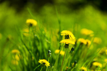 Dandelion against the background of green grass on a sunny summer day