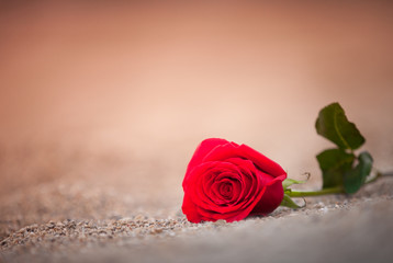Isolated red rose lying on the sand.