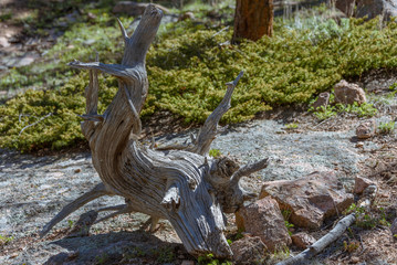 Closeup of the curved crooked distorted old tree in a national park, USA. Bare naked roots