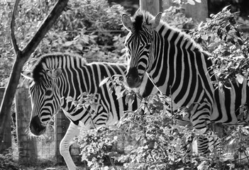 zebra Black and white 2 zebras