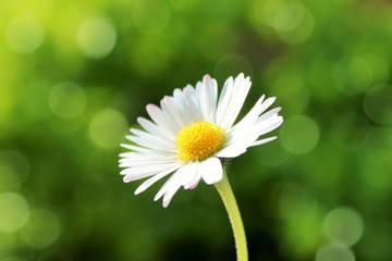 daisy flower chamomile with defocused garden background and copy space  stock, photo, photograph, image, picture,