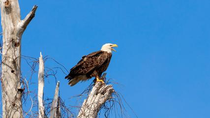 American bald eagle, haliaeetus leucocephalus, resting and screaming, Florida, USA