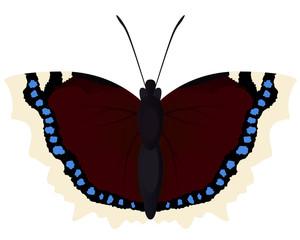 Butterfly morning cloak