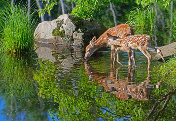 Two baby Deer drink water from a clear pond.