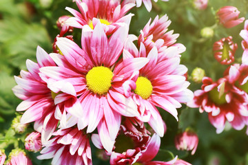 Pink mix white of Chrysanthemum flower are blooming.