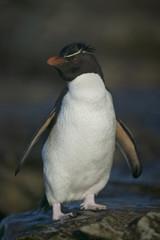 Rockhopper penguin (Eudyptes chrysocome) on rocks