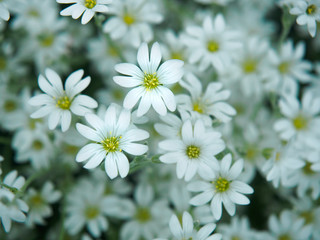 White flower in garden. Field of small white flowers shooting with soft focus. Fresh wild flowers for romantic and eco design. Blurred backdrop.