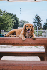 Golden Mix puppy at the park on a table